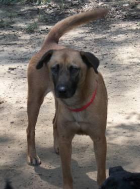 Labrador Retriever - Chuck - Medium - Adult - Male -