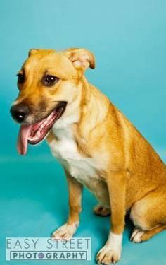 Labrador Retriever - Dyna - Small - Adult - Female - Dog for