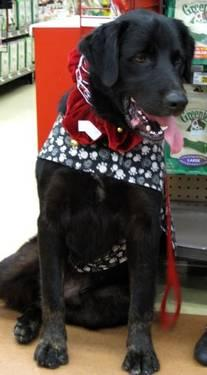 Labrador Retriever - Encore - Large - Young - Male -