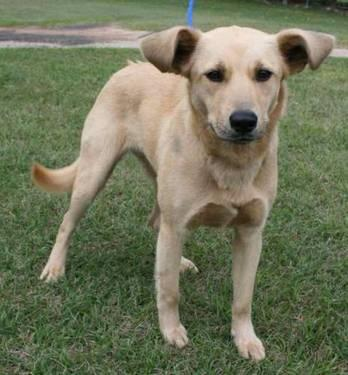 Labrador Retriever - Gidget - Medium - Adult - Female -