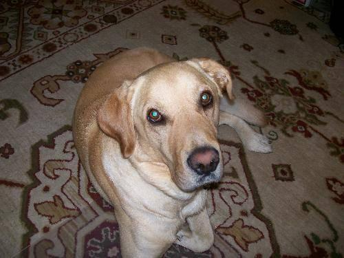 Male Labrador Adult For Sale