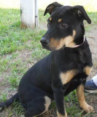 Labrador Retriever - Gypsy - Medium - Young - Female -