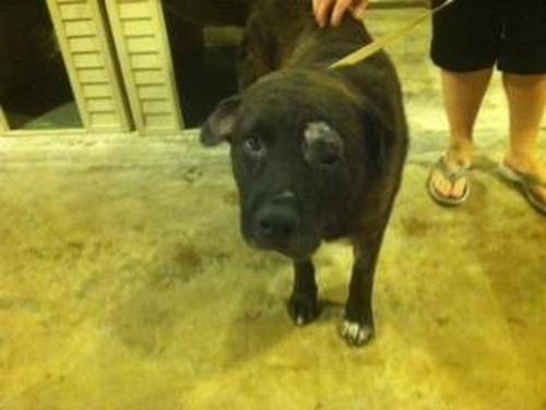 Labrador Retriever - Hobo (neutered) - Medium - Senior