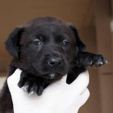 Labrador Retriever - Liza - Small - Baby - Female - Dog