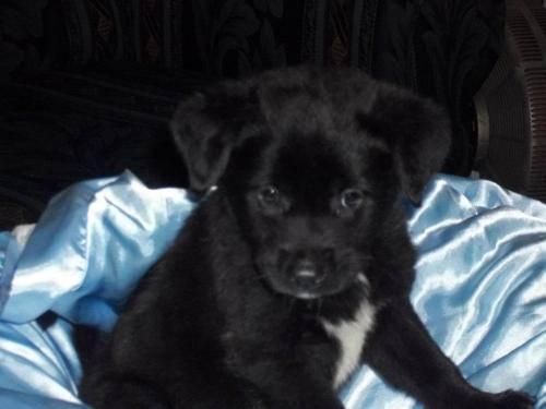 Labrador Retriever - Luey - Large - Baby - Male - Dog