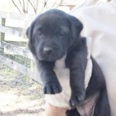 Labrador Retriever - Lyric - Small - Baby - Female -
