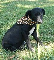 Labrador Retriever - Mandy - Medium - Young - Female -