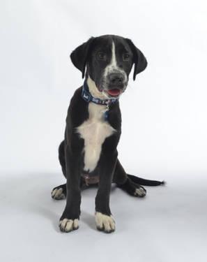 Labrador Retriever - Noah - Medium - Young - Male - Dog