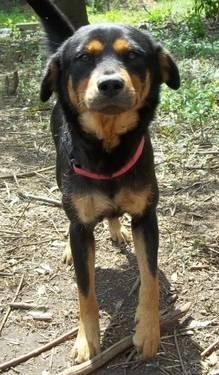Labrador Retriever - Precious - Medium - Adult - Female