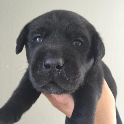 Labrador retriever puppy (AKC)