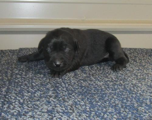 Labrador Retriever Puppy for Sale - Adoption, Rescue