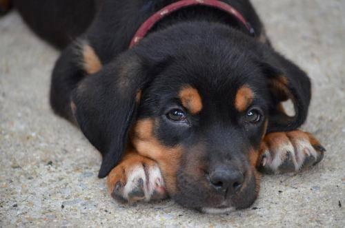 Dogs For Sale Cullman Alabama