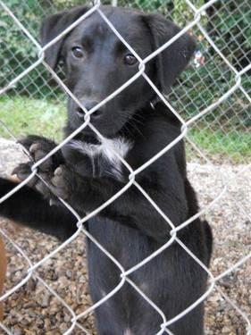 Labrador Retriever - Ronnie - Medium - Young - Male -