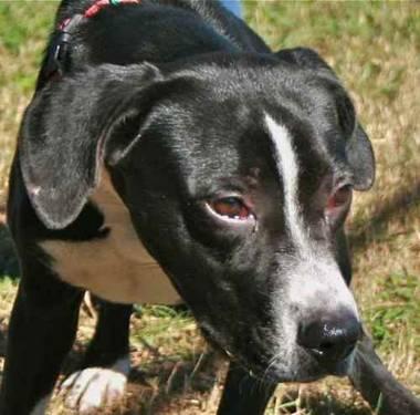 Labrador Retriever - Tammy - Medium - Young - Female -