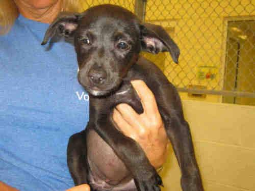 Labrador Retriever - Tevin - Small - Baby - Female -