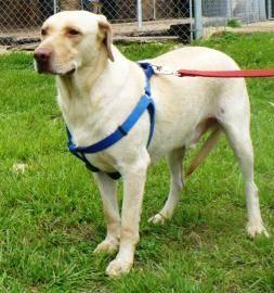 Labrador Retriever - Titus - Extra Large - Senior -