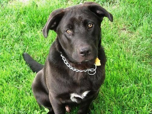 Labrador Retriever Toby Large Baby Male Dog For