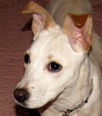 Labrador Retriever - Toby - Medium - Senior - Male -