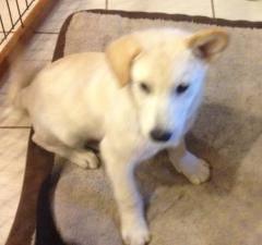 Labrador Retriever - Waldo - Large - Baby - Male - Dog