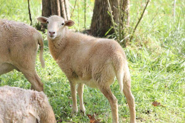 Lambs for sale - $100 (Hardin Valley / Farragut)
