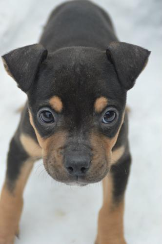 Lancaster Manchester Terrier Baby - Adoption, Rescue ...
