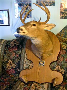 Large 10 Point Deer Shoulder Mount On Nice Plaque For Man