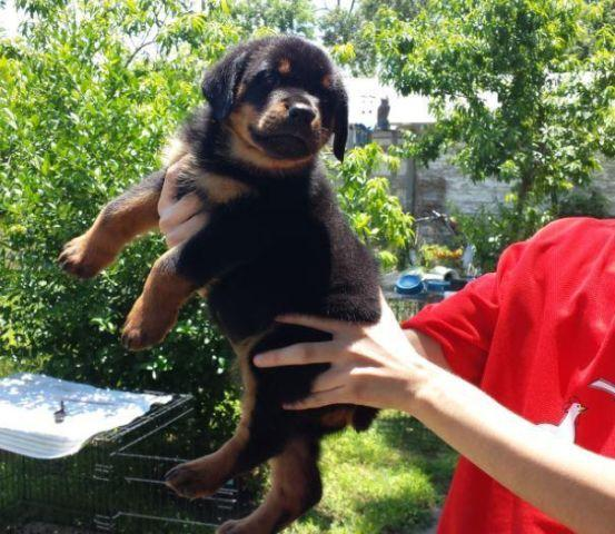 Large German Rottweiler Puppies Male For Sale In San Antonio