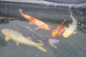 Large koi for sale germantown for sale in milwaukee for Giant koi for sale