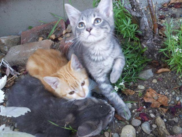 Maine Coon Kittens For Sale Seattle Large Mainecoon/Bengal...