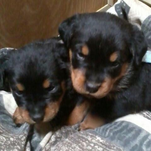 Large Male Female German Rottweiler Puppies For Sale For Sale In