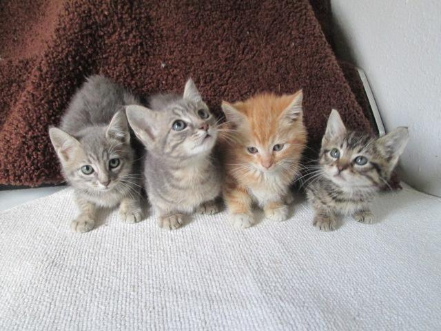 Large Pixie-bob-tail, Mainecoon kittens! for Sale in ...