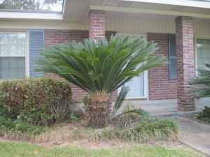 large sago palms brewton al for sale in pensacola florida classified. Black Bedroom Furniture Sets. Home Design Ideas