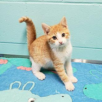 Larry Domestic Shorthair Kitten Male