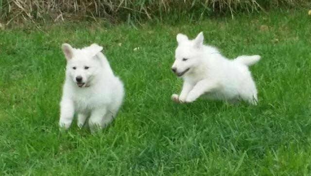 last baby ..white german shepherd puppy for Sale in ...