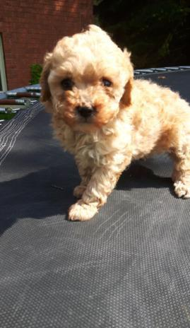 LAST Toy Poodle Ready To Go!!!!