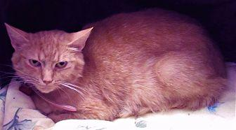 Laverne Domestic Shorthair Young Female