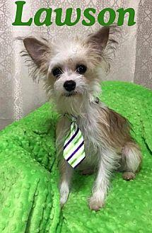 Lawson Yorkie Yorkshire Terrier Young Male For Sale In Shreveport