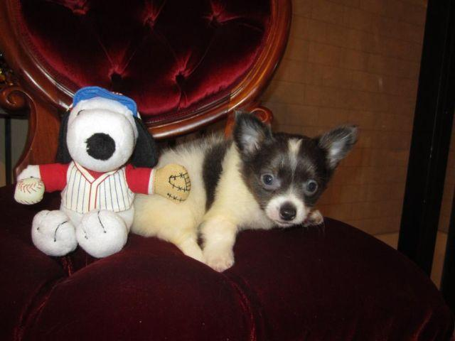 LC-Tea Cup-Chihuahua-Male-Gunner-Beautiful Blue/White