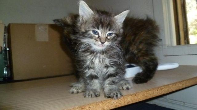 Legend Lynx kittens