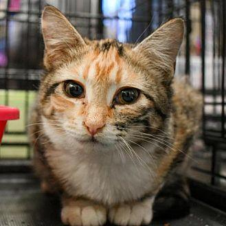Lemony Snicket-Adopted Domestic Shorthair Young Female