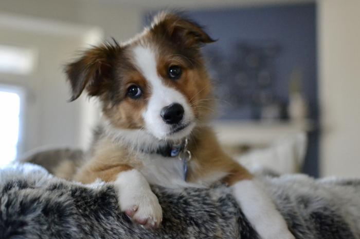 Lenny Australian Shepherd Baby - Adoption, Rescue