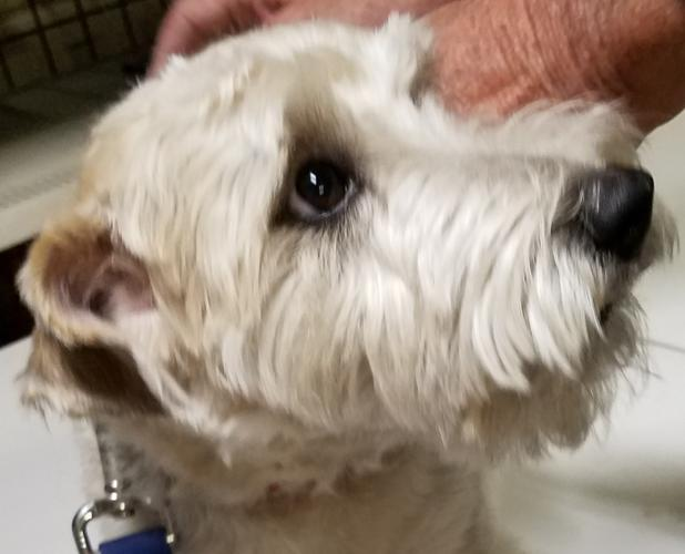 Leo Miniature Schnauzer Adult Adoption Rescue Miniature Schnauzer For Sale In Phoenix Az