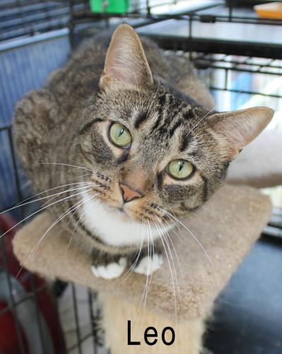 Leo R. - PLAYFUL & AFFECTIONATE BOY! Tabby Adult -