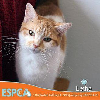 Letha Domestic Shorthair Adult Female