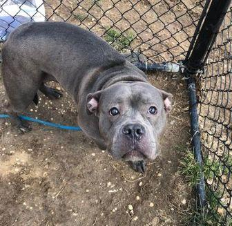 Lexi American Pit Bull Terrier Adult Female