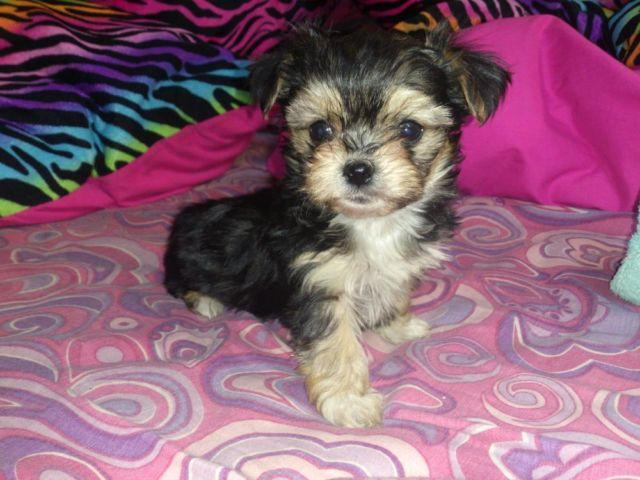 Yorkie Maltese Mix Classifieds Buy Sell Yorkie Maltese Mix
