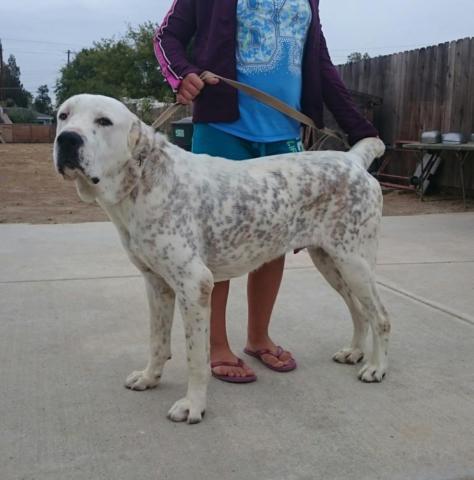 Alabai Dog For Sale California