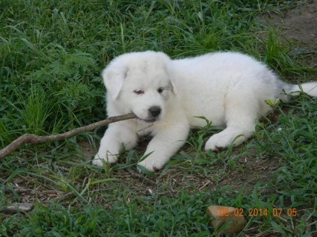 LGD Guardian Puppies Great Pyrenees Kangal and Anatolian Shepherd
