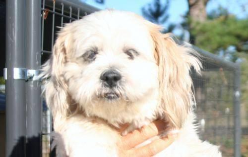 Lhasa Apso - Luna - Medium - Adult - Female - Dog