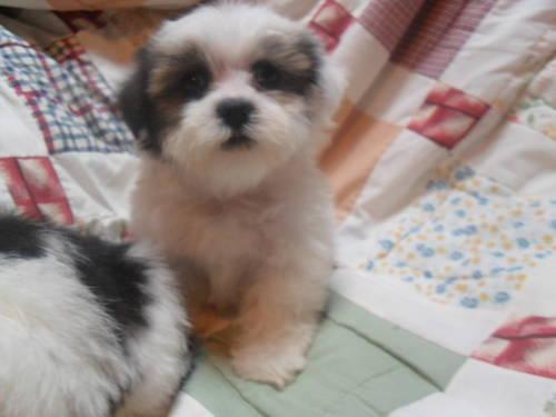 Lhasa Apso Puppies For In Athens